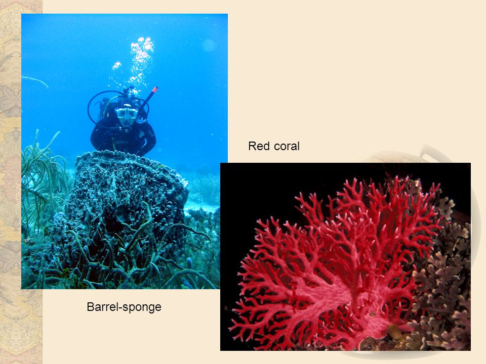 Barrel-sponge Red coral