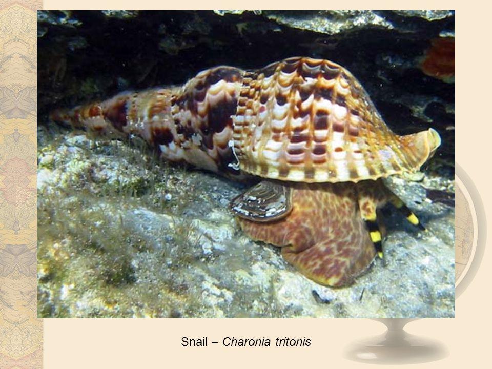 Snail – Charonia tritonis