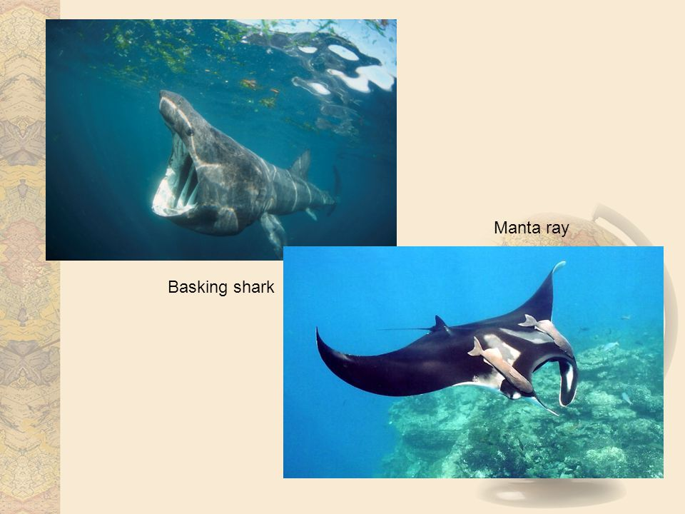 Basking shark Manta ray