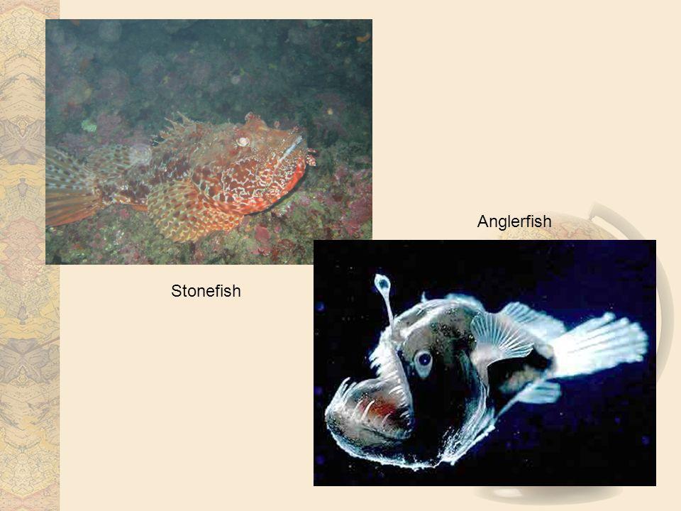 Stonefish Anglerfish