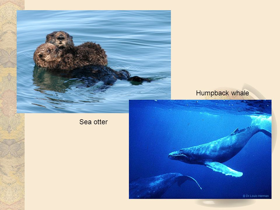 Sea otter Humpback whale