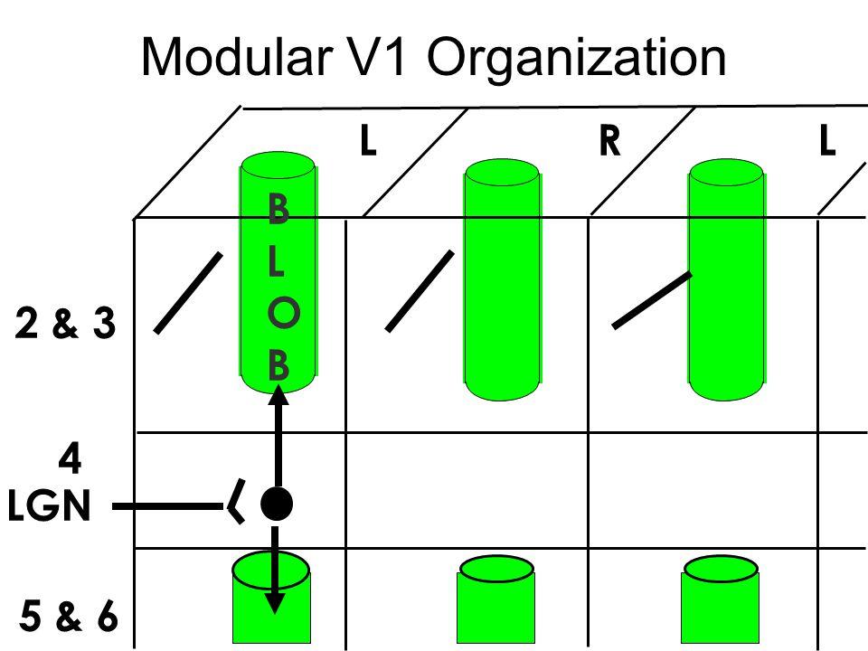 Modular V1 Organization 2 & 3 4 5 & 6 LGN L R L BLOBBLOB