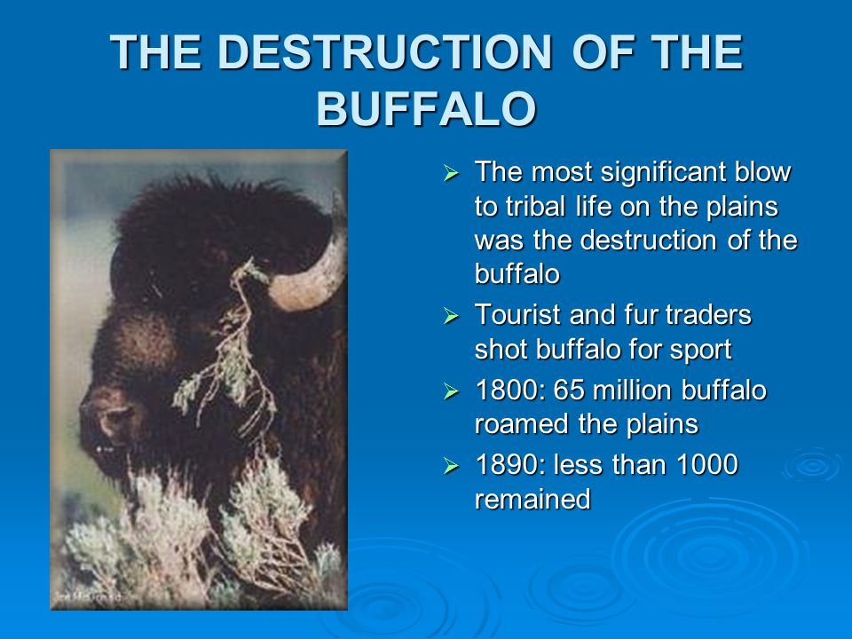 THE DESTRUCTION OF THE BUFFALO  The most significant blow to tribal life on the plains was the destruction of the buffalo  Tourist and fur traders shot buffalo for sport  1800: 65 million buffalo roamed the plains  1890: less than 1000 remained