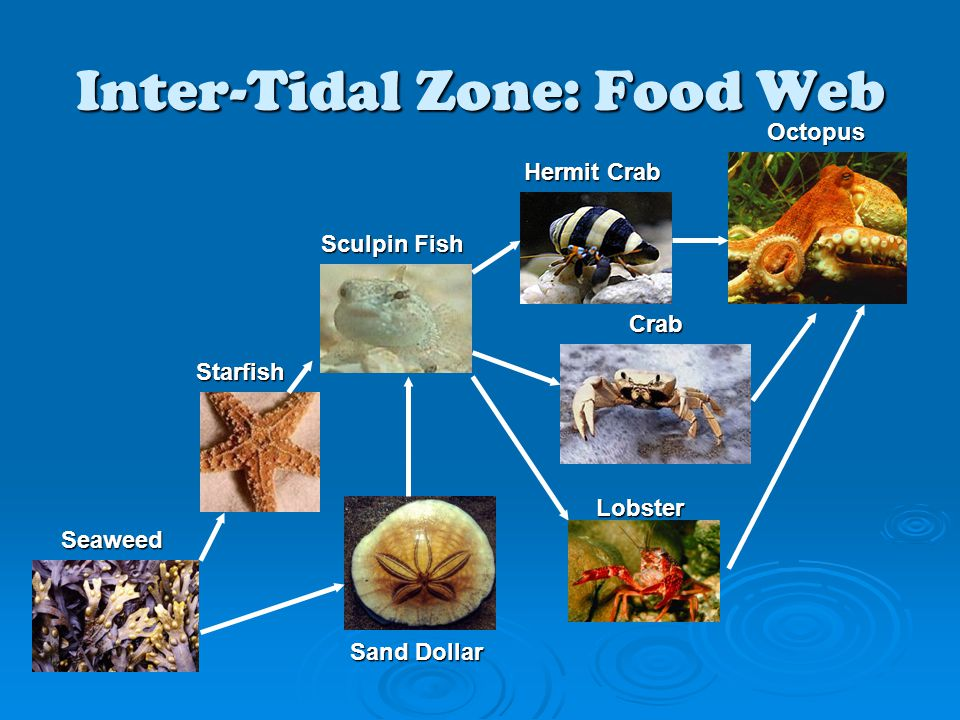 Inter-Tidal Zone: Food Web Seaweed Starfish Hermit Crab Sculpin Fish Octopus Crab Lobster Sand Dollar