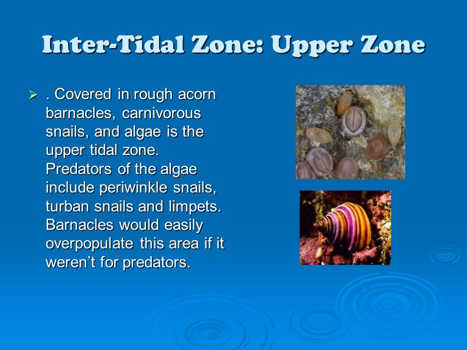 Inter-Tidal Zone: Upper Zone . Covered in rough acorn barnacles, carnivorous snails, and algae is the upper tidal zone. Predators of the algae includ