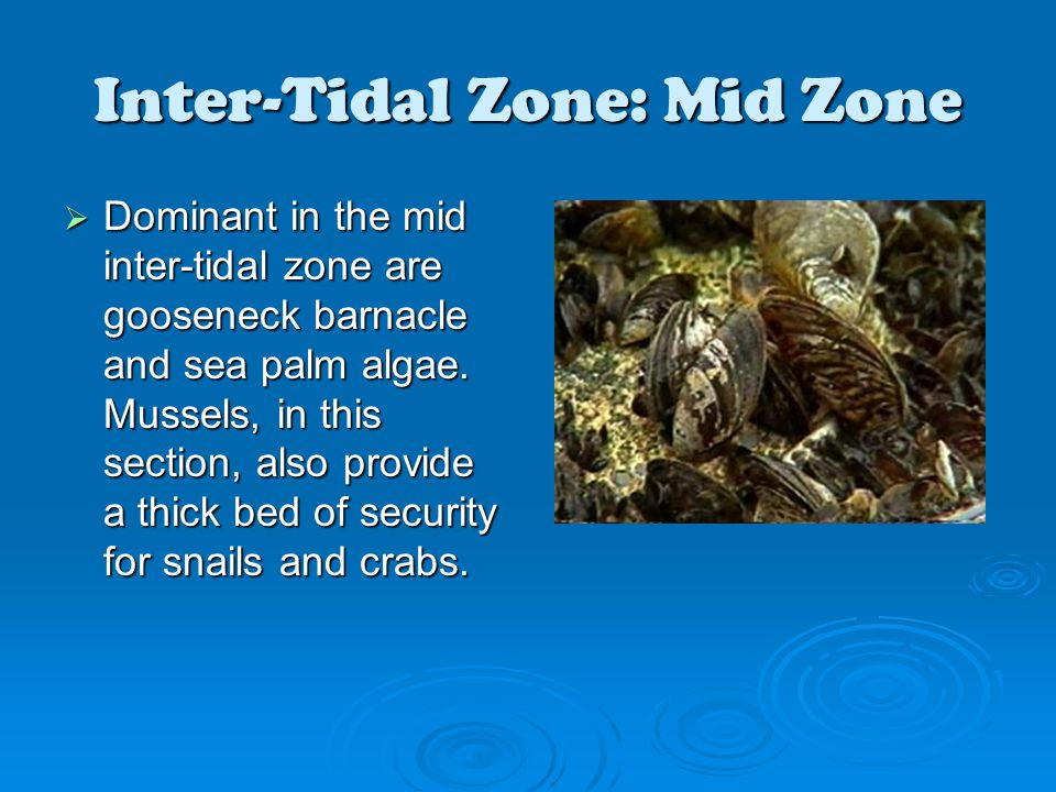 Inter-Tidal Zone: Mid Zone  Dominant in the mid inter-tidal zone are gooseneck barnacle and sea palm algae. Mussels, in this section, also provide a