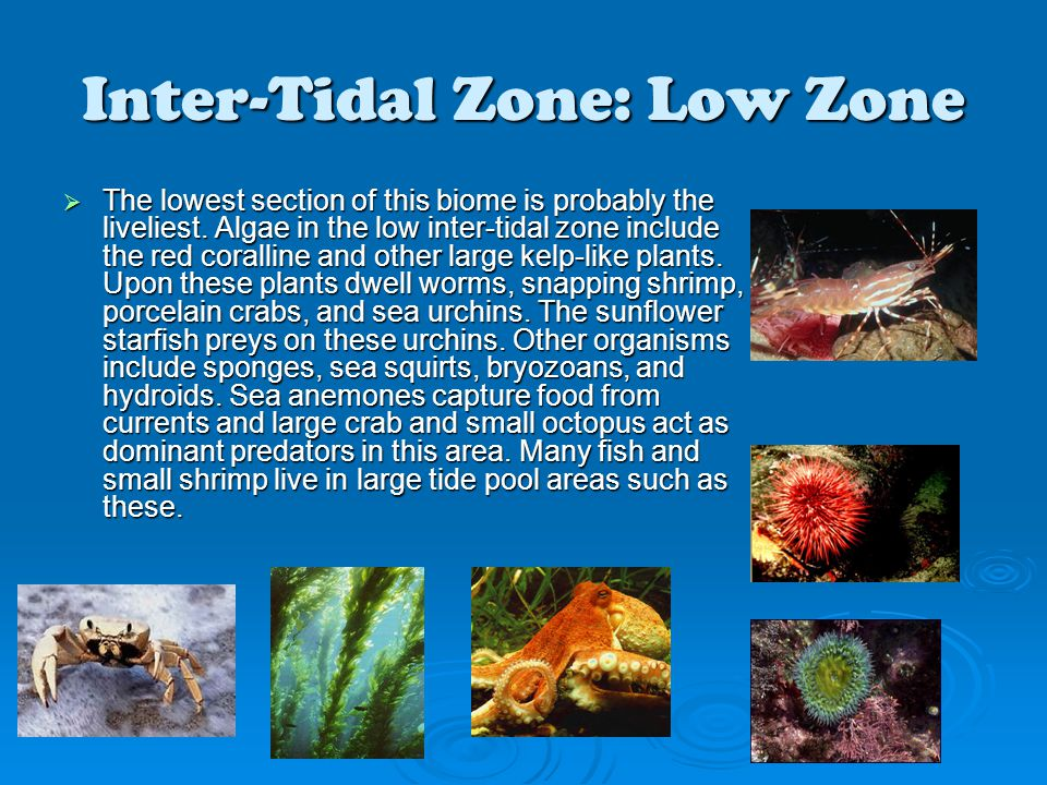 Inter-Tidal Zone: Low Zone  The lowest section of this biome is probably the liveliest. Algae in the low inter-tidal zone include the red coralline a