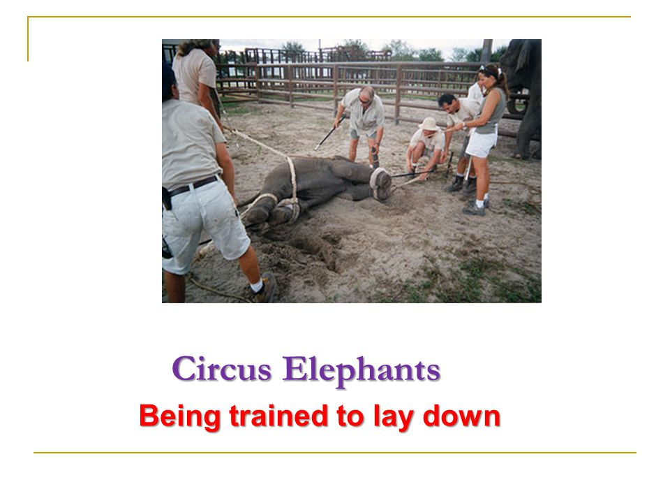 Circus Elephants Circus Elephants An elephant is being trained to lie down.