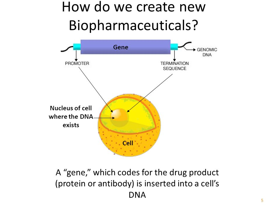 5 A gene, which codes for the drug product (protein or antibody) is inserted into a cell's DNA Gene Cell Nucleus of cell where the DNA exists