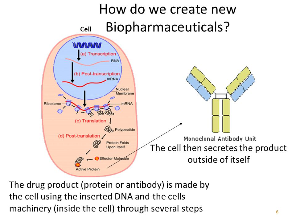 6 The drug product (protein or antibody) is made by the cell using the inserted DNA and the cells machinery (inside the cell) through several steps The cell then secretes the product outside of itself Cell How do we create new Biopharmaceuticals?