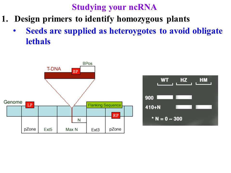 Studying your ncRNA 1.Design primers to identify homozygous plants Seeds are supplied as heteroygotes to avoid obligate lethals