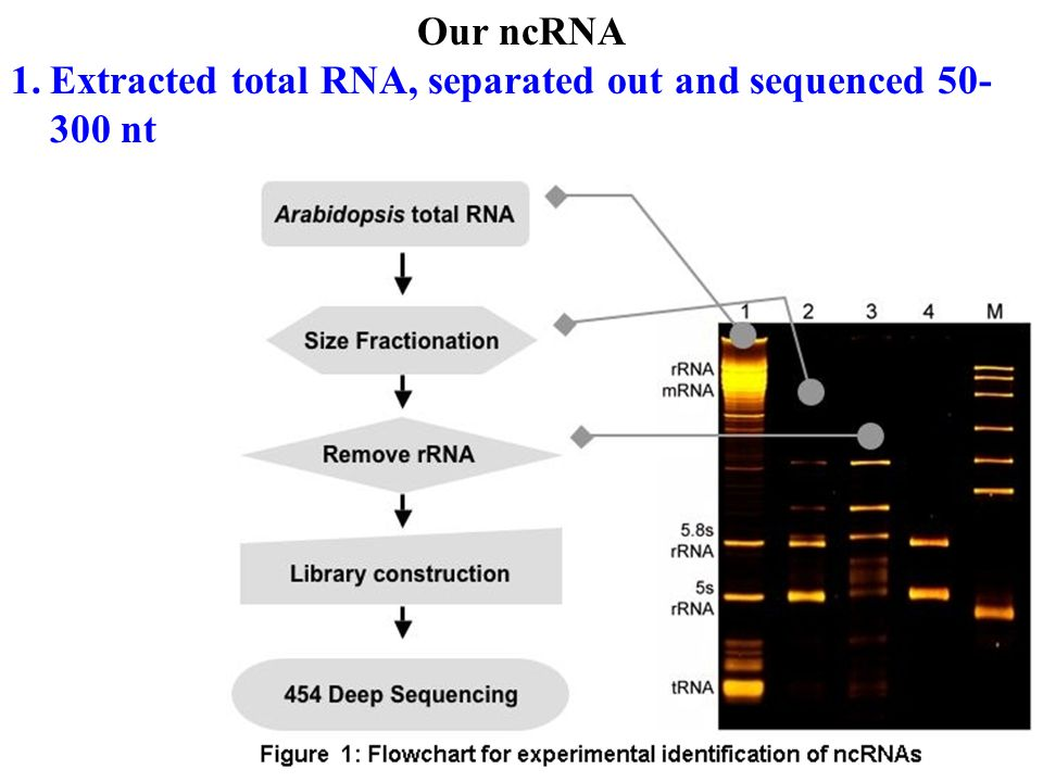 Our ncRNA 1.Extracted total RNA, separated out and sequenced 50- 300 nt