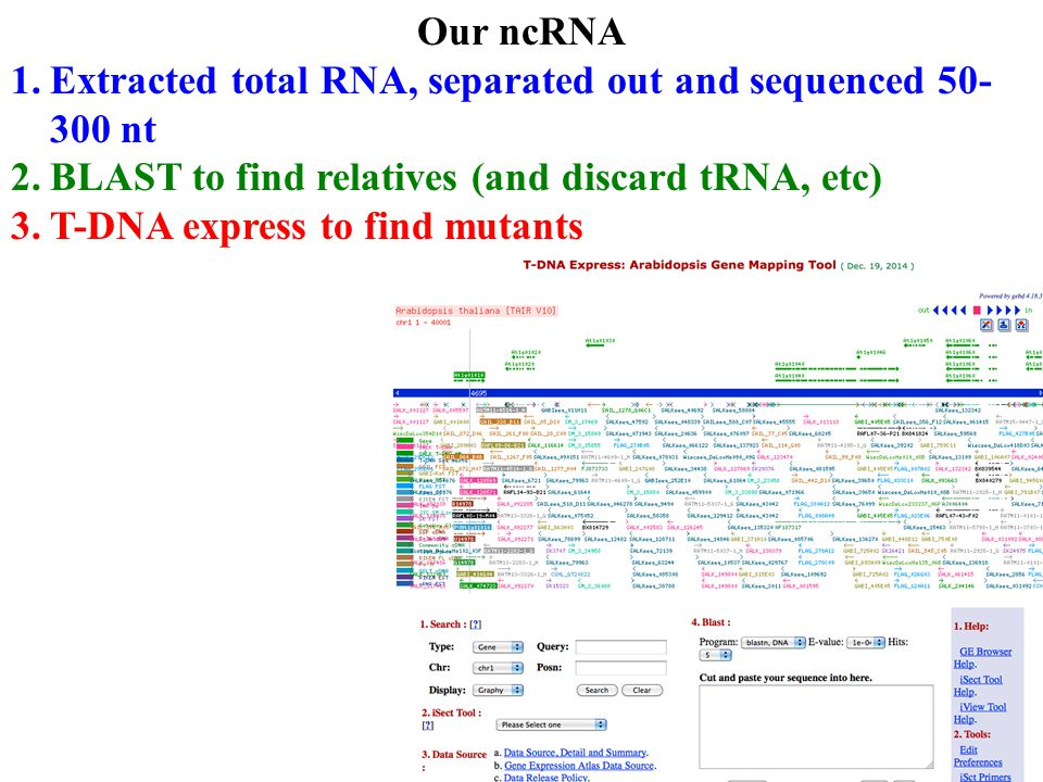 Our ncRNA 1.Extracted total RNA, separated out and sequenced 50- 300 nt 2.BLAST to find relatives (and discard tRNA, etc) 3.T-DNA express to find mutants