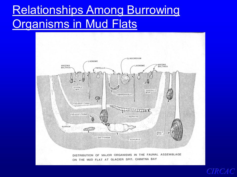 Relationships Among Burrowing Organisms in Mud Flats
