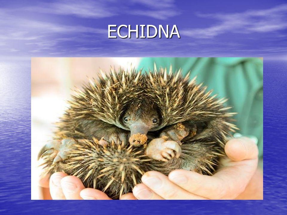 ECHIDNA