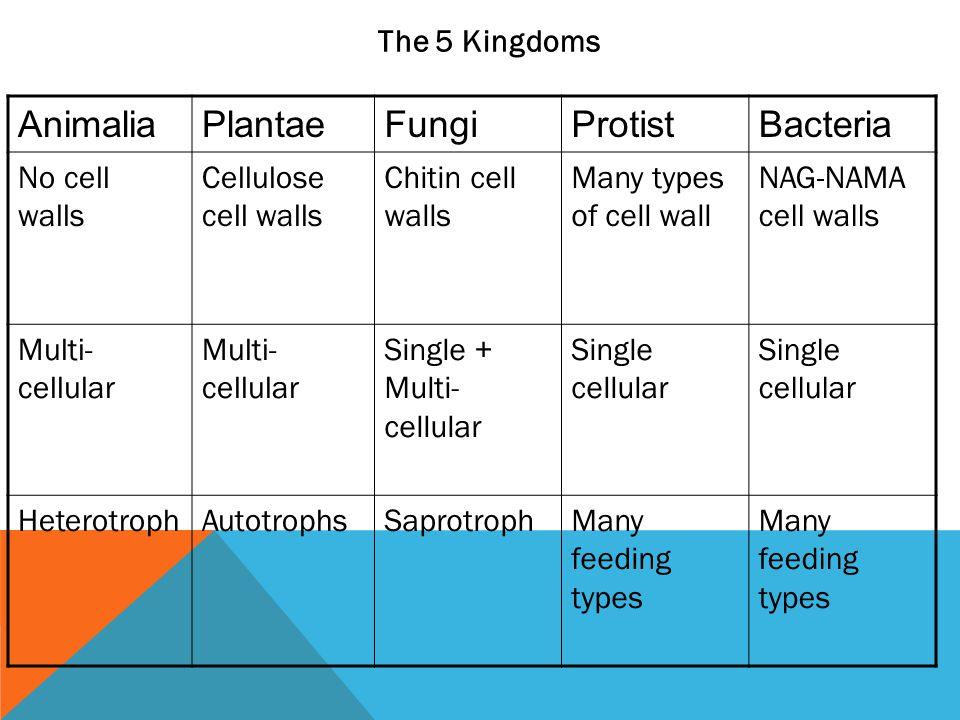 The 5 Kingdoms AnimaliaPlantaeFungiProtistBacteria No cell walls Cellulose cell walls Chitin cell walls Many types of cell wall NAG-NAMA cell walls Mu