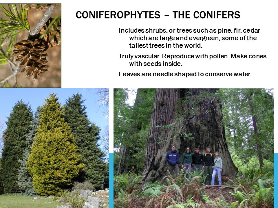 CONIFEROPHYTES – THE CONIFERS Includes shrubs, or trees such as pine, fir, cedar which are large and evergreen, some of the tallest trees in the world
