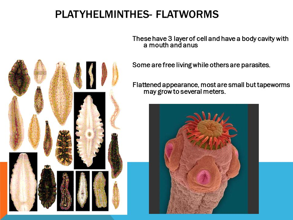 PLATYHELMINTHES- FLATWORMS These have 3 layer of cell and have a body cavity with a mouth and anus Some are free living while others are parasites. Fl
