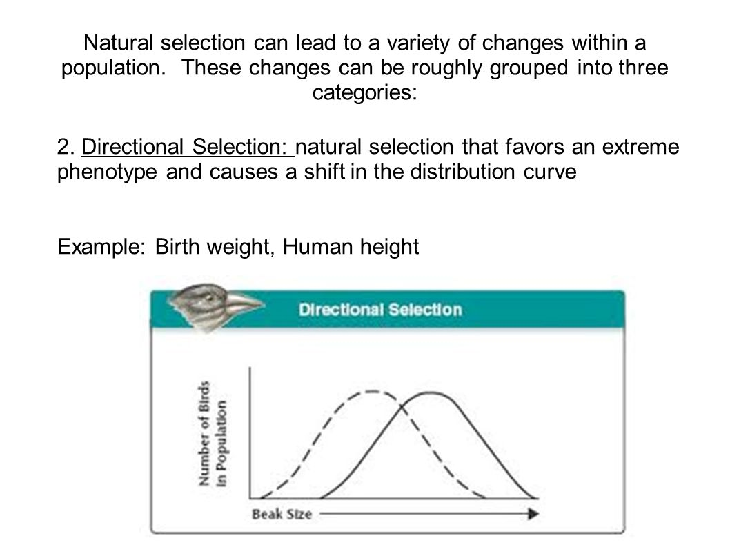 Natural selection can lead to a variety of changes within a population. These changes can be roughly grouped into three categories: 2. Directional Sel