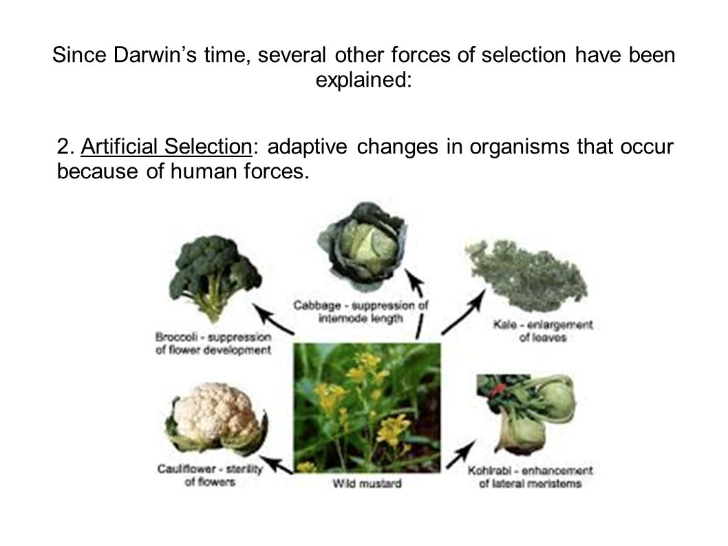 Since Darwin's time, several other forces of selection have been explained: 2. Artificial Selection: adaptive changes in organisms that occur because