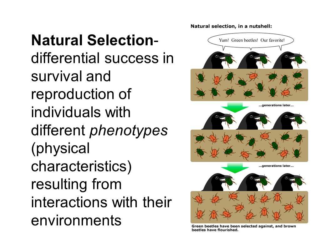 Natural Selection- differential success in survival and reproduction of individuals with different phenotypes (physical characteristics) resulting fro
