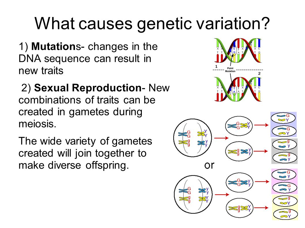 What causes genetic variation? 1) Mutations- changes in the DNA sequence can result in new traits 2) Sexual Reproduction- New combinations of traits c