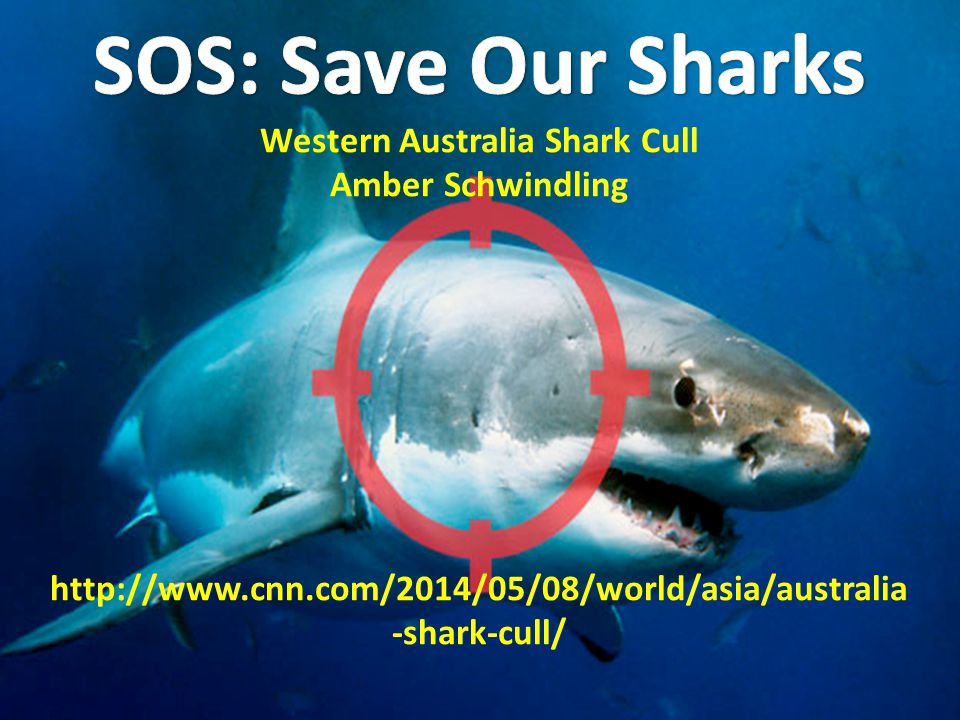 Outline I.What is the W.A.shark cull. II.W.A. shark attack records III.Opposition IV.Will it work.