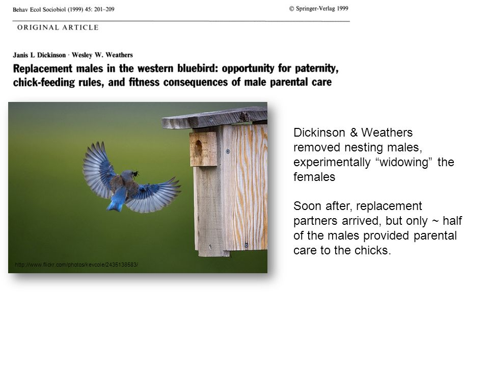 "http://www.flickr.com/photos/kevcole/2435138583/ Dickinson & Weathers removed nesting males, experimentally ""widowing"" the females Soon after, replace"