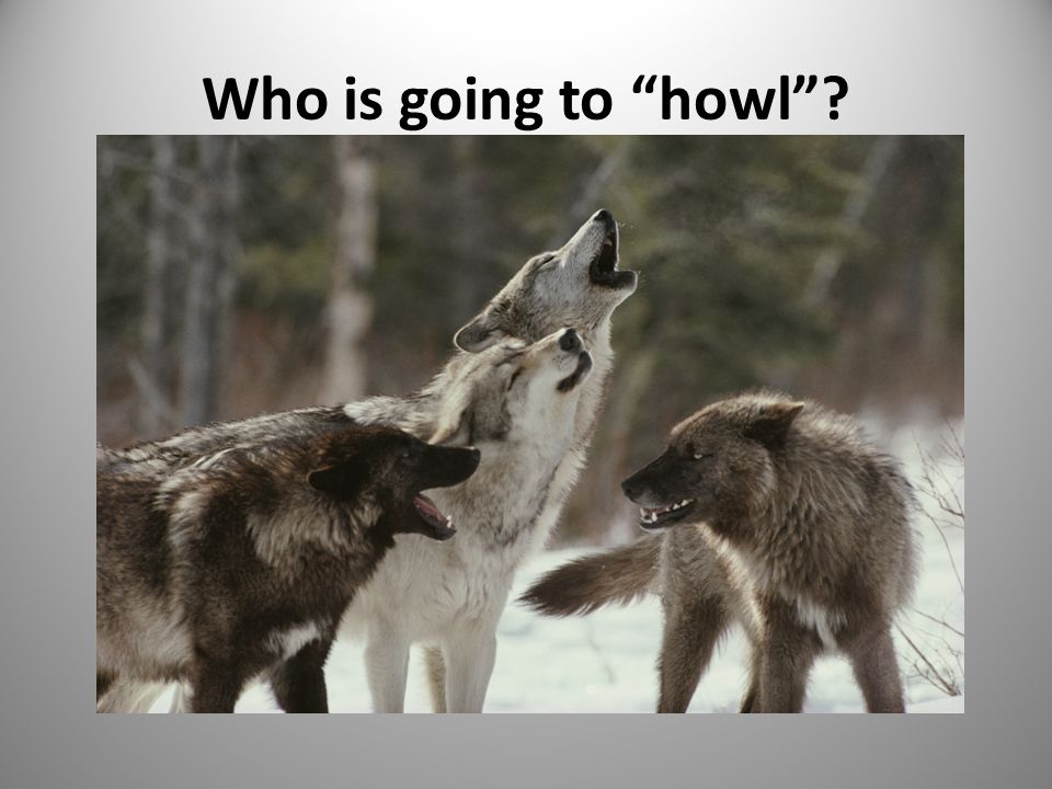Who is going to howl