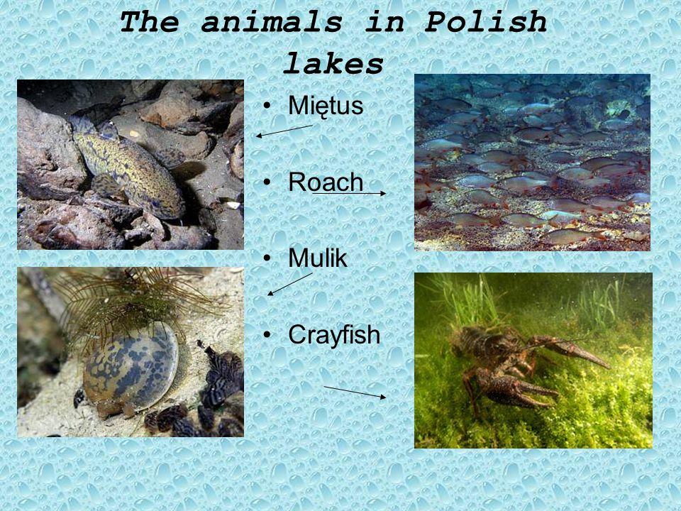The plants in Polish lakes Grążel żółty Rdestnica połyskująca Rdest ziemnowodny Jaskier wodny Strzałka wodna
