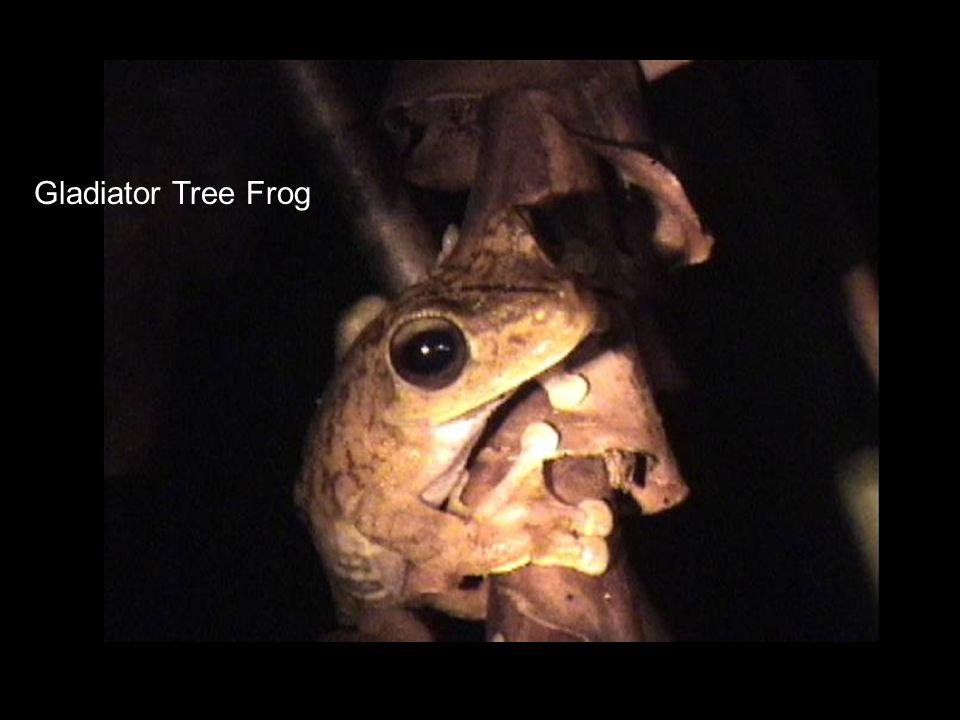 Gladiator Tree Frog