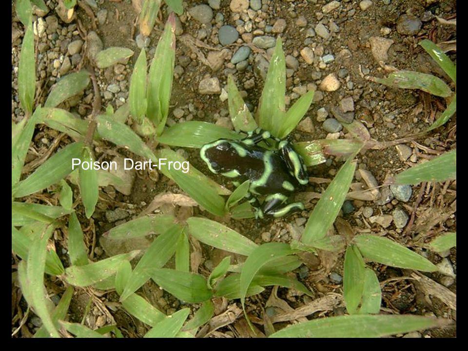 Poison Dart-Frog