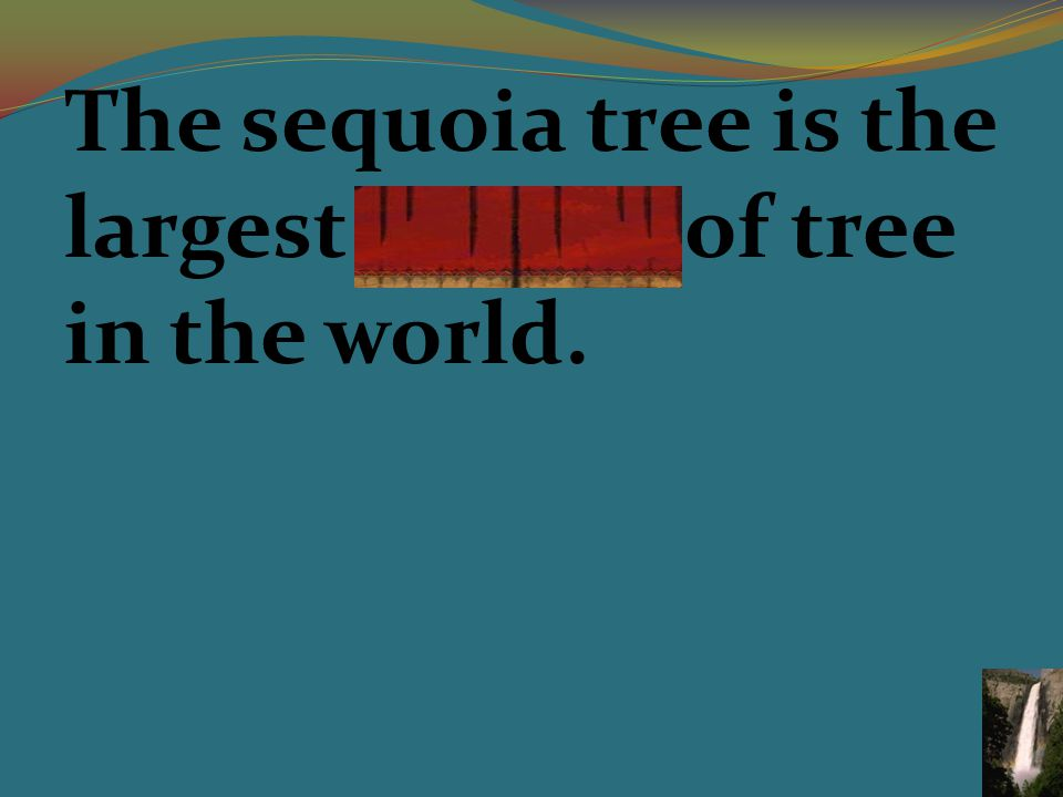 The sequoia tree is the largest species of tree in the world.