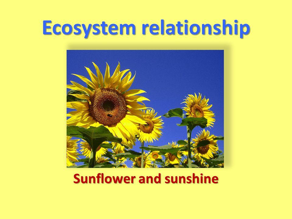 Ecosystem relationship Sunflower and sunshine