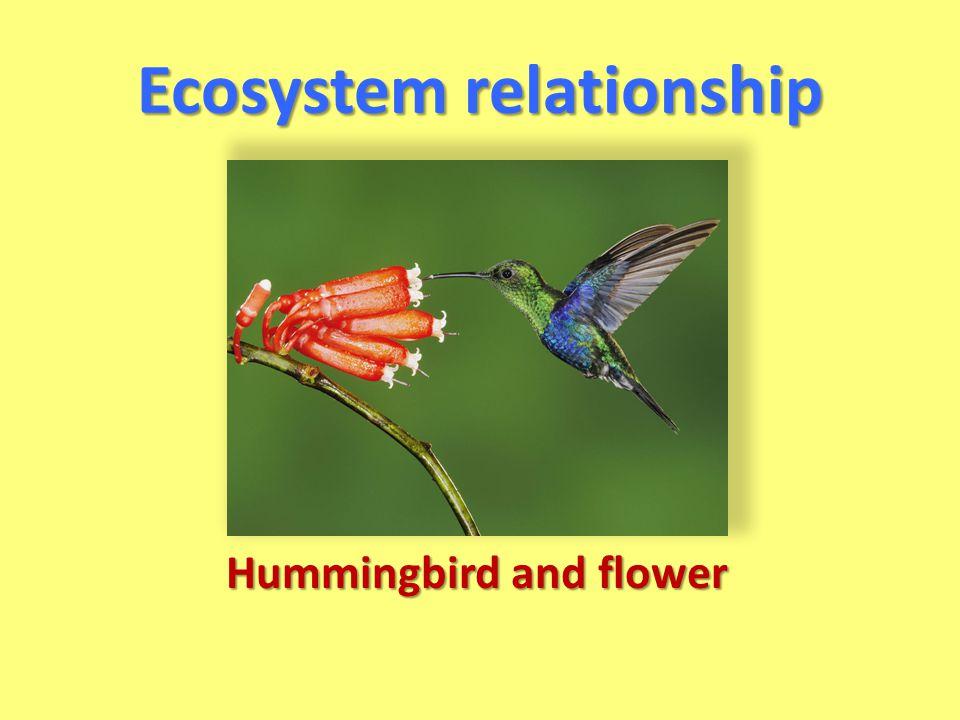 Ecosystem relationship Hummingbird and flower