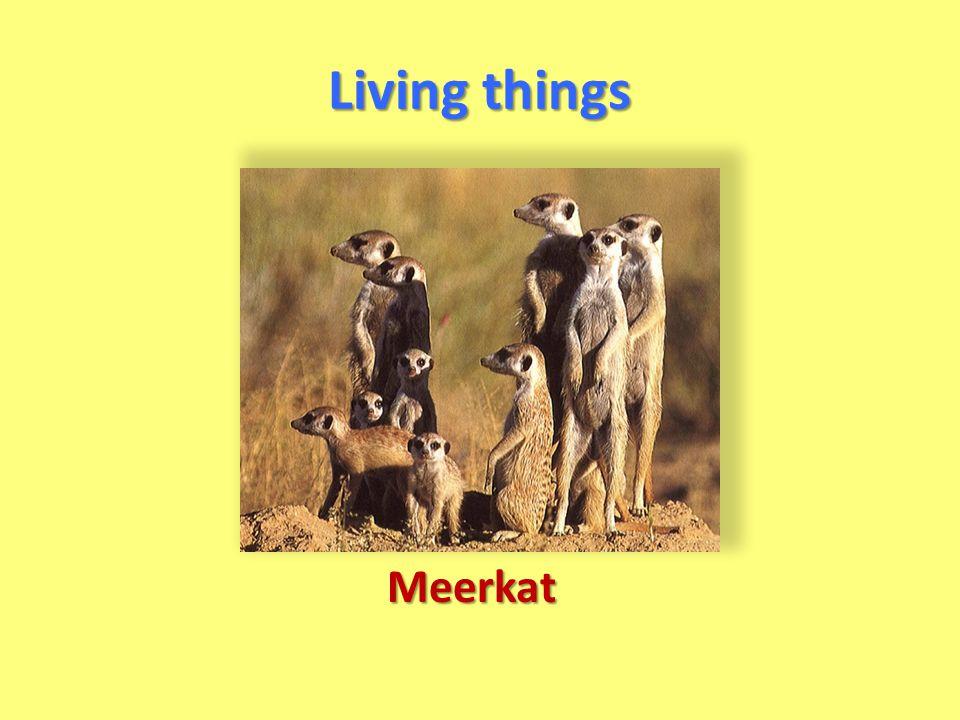 Living things Meerkat