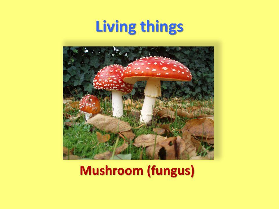 Mushroom (fungus)