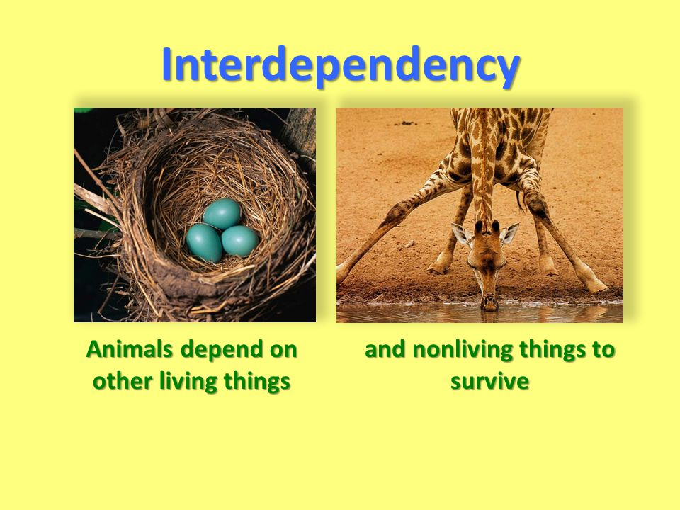 Interdependency Animals depend on other living things and nonliving things to survive