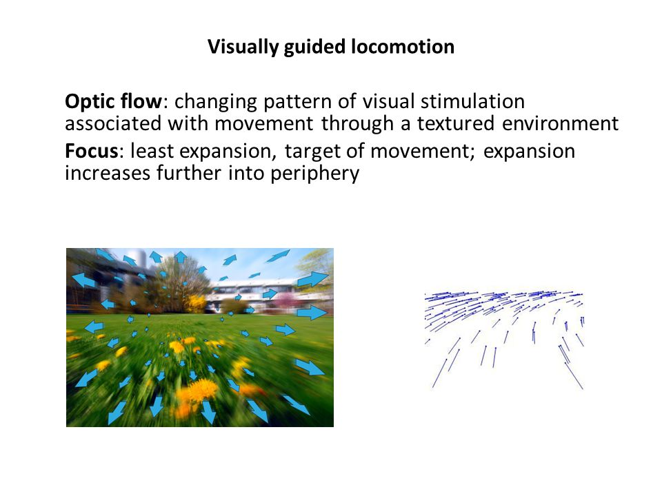 Visually guided locomotion Optic flow: changing pattern of visual stimulation associated with movement through a textured environment Focus: least expansion, target of movement; expansion increases further into periphery