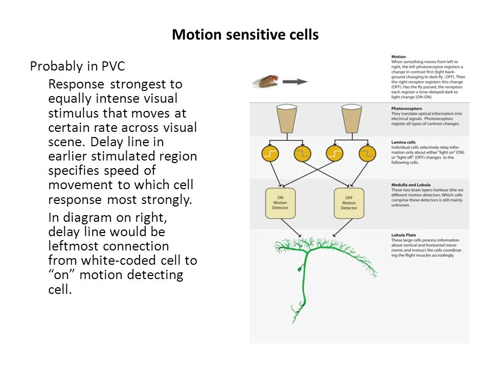 Motion sensitive cells Probably in PVC Response strongest to equally intense visual stimulus that moves at certain rate across visual scene.