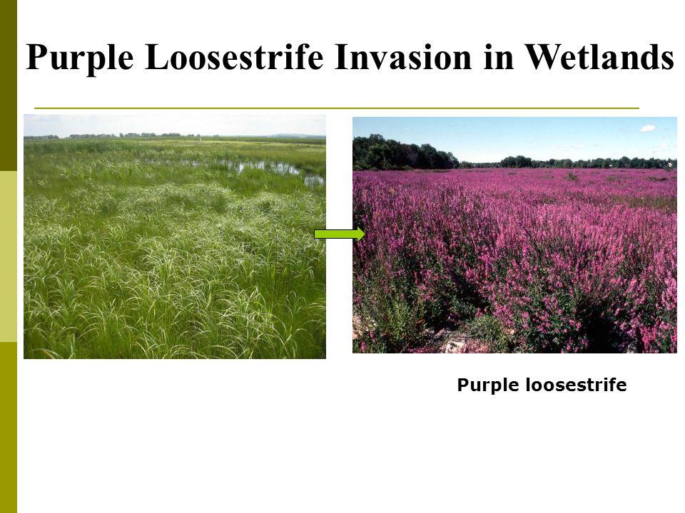 Purple loosestrife Purple Loosestrife Invasion in Wetlands