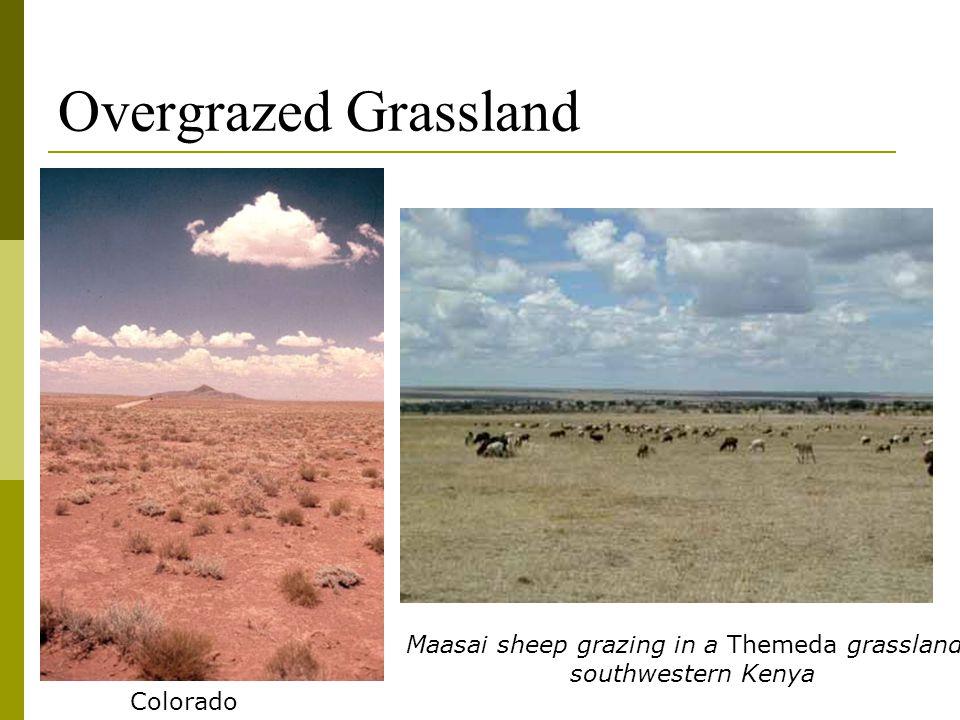 Overgrazed Grassland Maasai sheep grazing in a Themeda grassland, southwestern Kenya Colorado