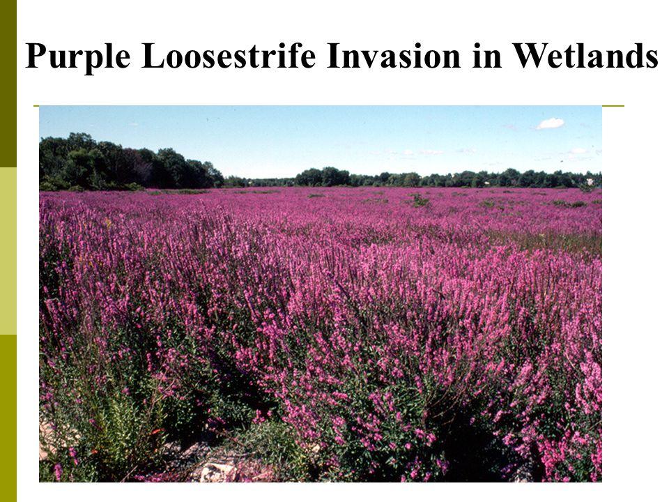 Purple Loosestrife Invasion in Wetlands