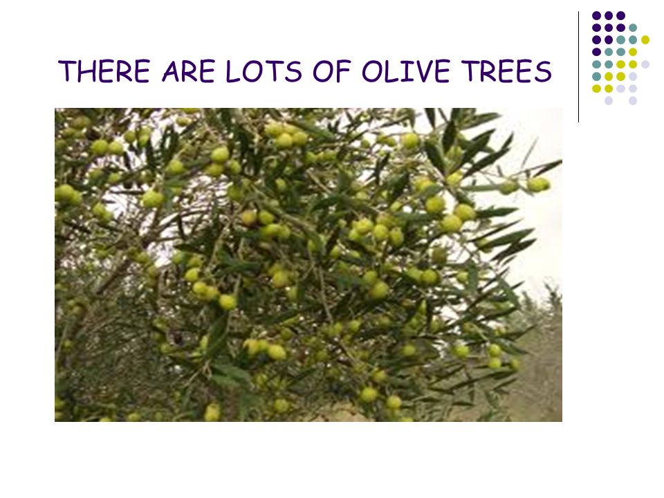 THERE ARE LOTS OF OLIVE TREES