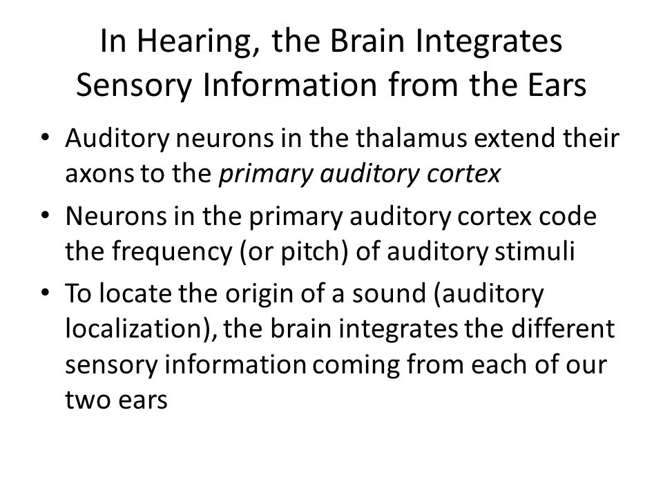 In Hearing, the Brain Integrates Sensory Information from the Ears Auditory neurons in the thalamus extend their axons to the primary auditory cortex