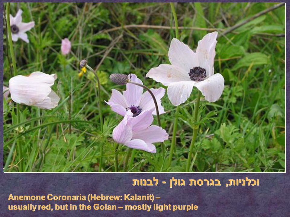 וכלניות, בגרסת גולן - לבנות Anemone Coronaria (Hebrew: Kalanit) – usually red, but in the Golan – mostly light purple