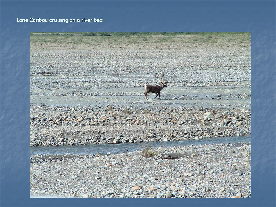 Lone Caribou cruising on a river bed