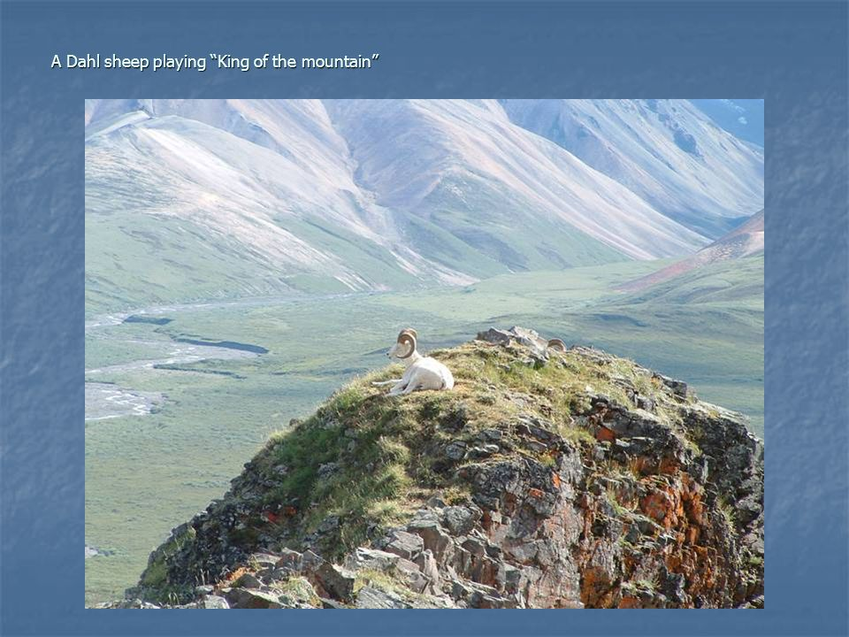 """A Dahl sheep playing """"King of the mountain"""""""