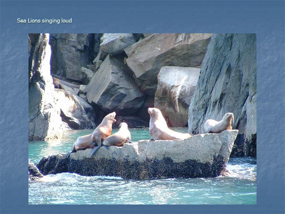 Sea Lions singing loud