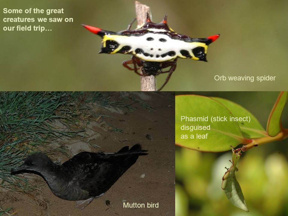 Mutton Bird, Province Nord Phasmid (stick insect) disguised as a leaf Mutton bird Orb weaving spider Some of the great creatures we saw on our field trip…